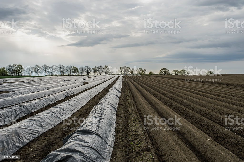 Asparagus Field stock photo