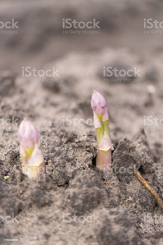 Asparagus on the field royalty-free stock photo