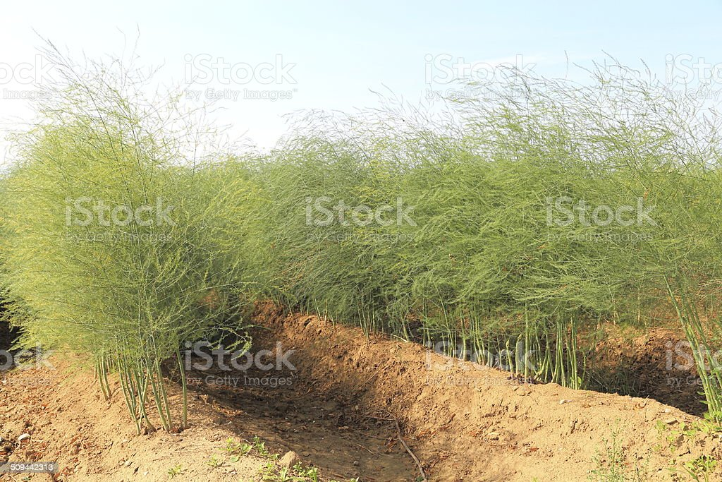 Asparagus plant in summer royalty-free stock photo