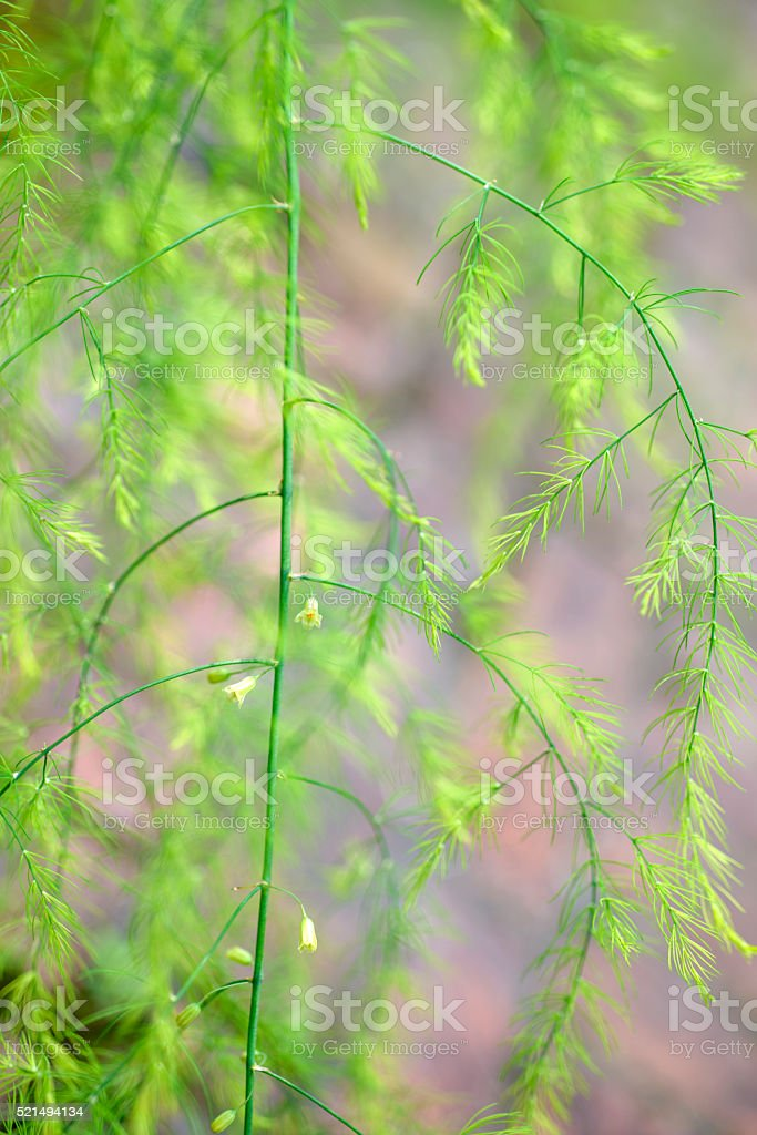Asparagus racemosus.vegetable textures. stock photo