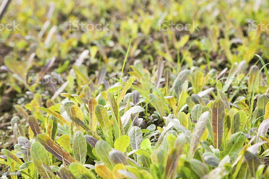asparagus sapling royalty-free stock photo