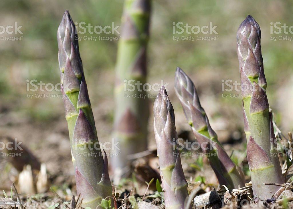 asparagus shoots royalty-free stock photo