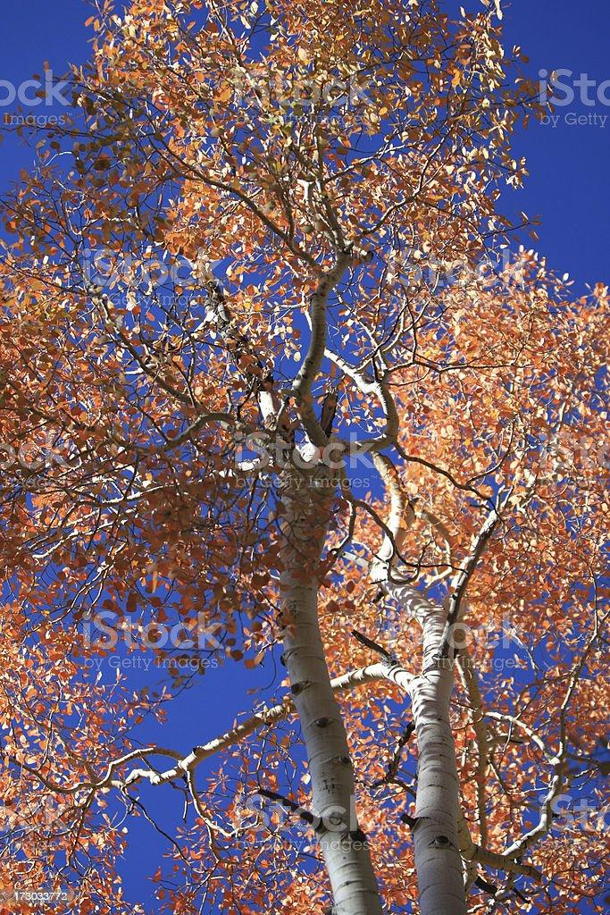 Aspen contro il cielo foto stock royalty-free