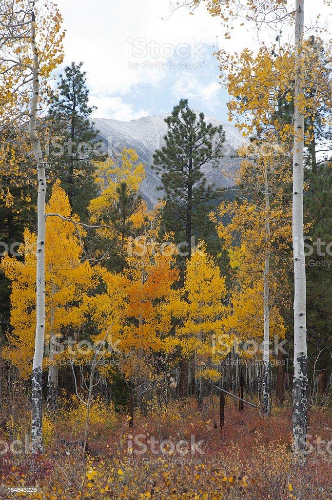 Aspen Autumn Color stock photo