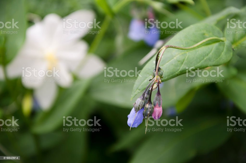 Aspen Bluebell stock photo