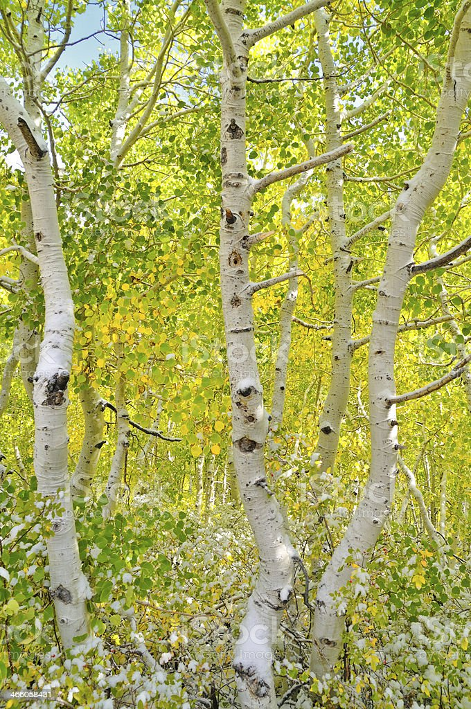 Aspen forest stock photo