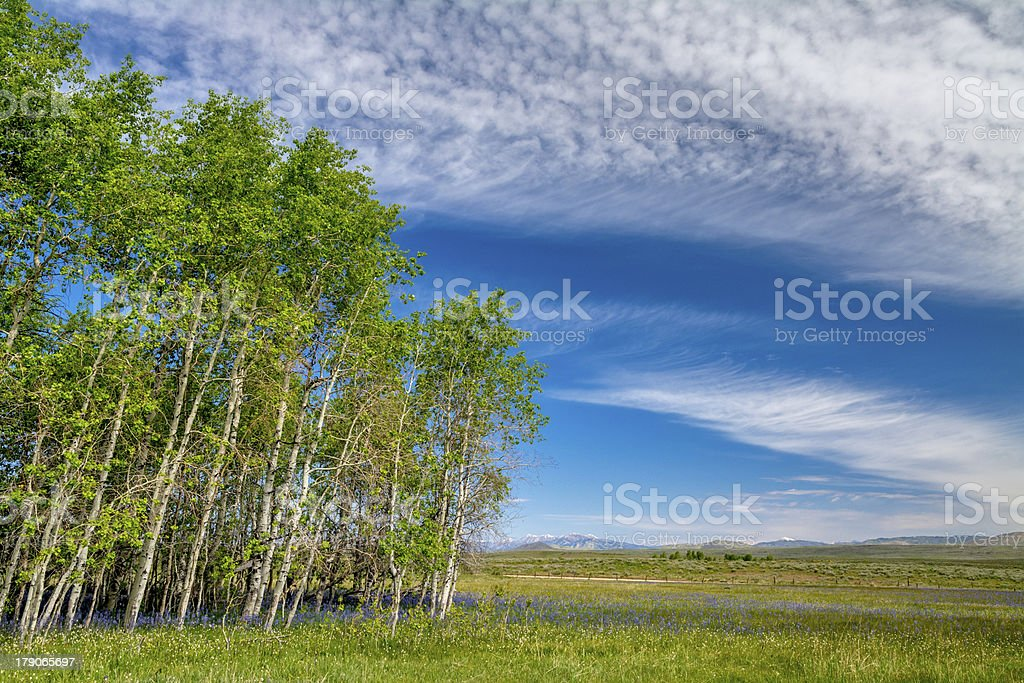 Aspen forest with blue flowers and clouds royalty-free stock photo