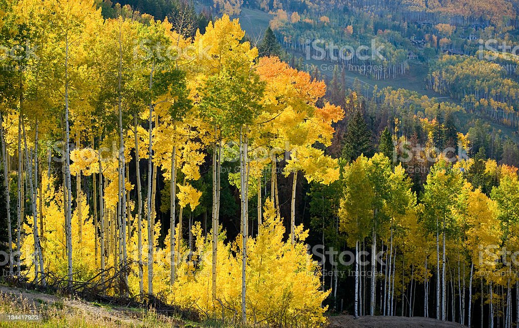 Aspen Gold Fall Colors and Tree Trunks in Forest Landscape stock photo