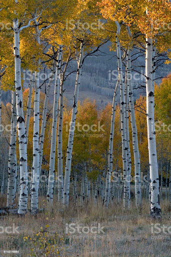 Aspen Grove Colorado stock photo