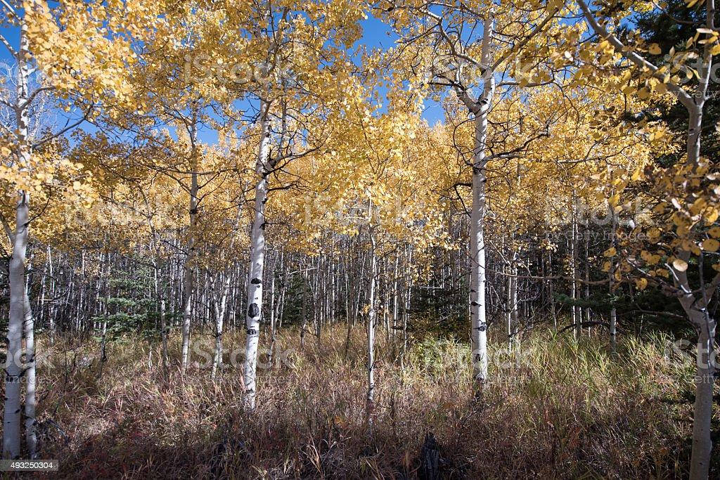 Aspen Grove in Autumn stock photo