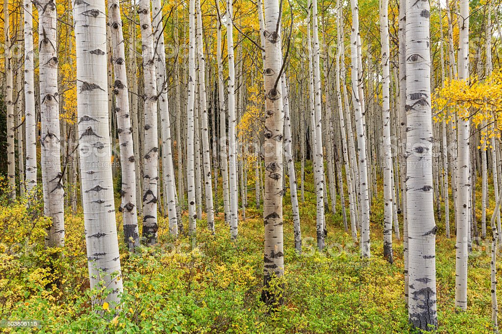 Aspen Grove in Fall stock photo
