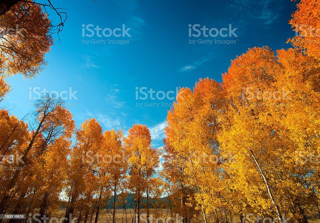 Aspen Grove in the Fall - GTNP stock photo