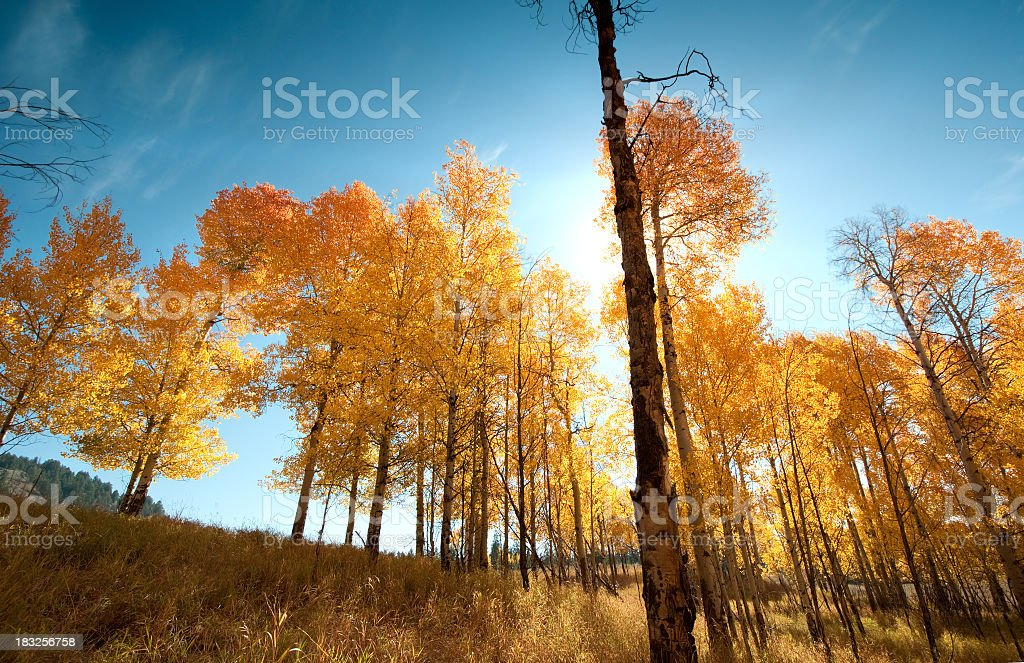 Aspen Grove in the Fall with Sunburst royalty-free stock photo