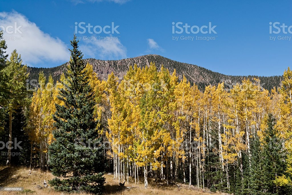 Aspen Grove in the Inner Basin stock photo