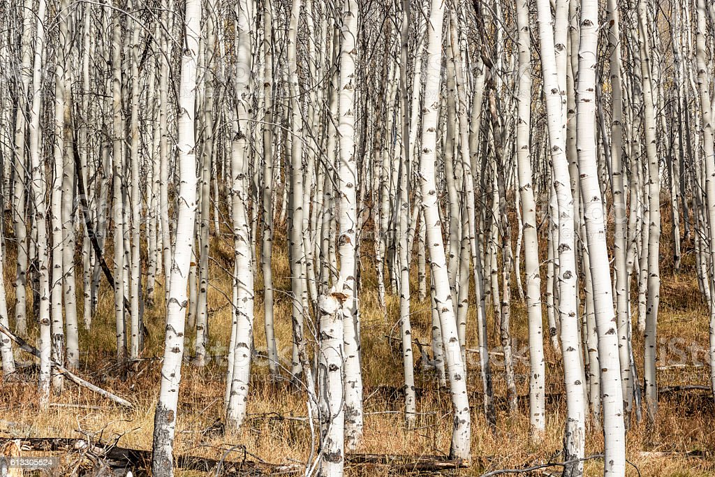 Aspen grove in the late fall with white bark stock photo