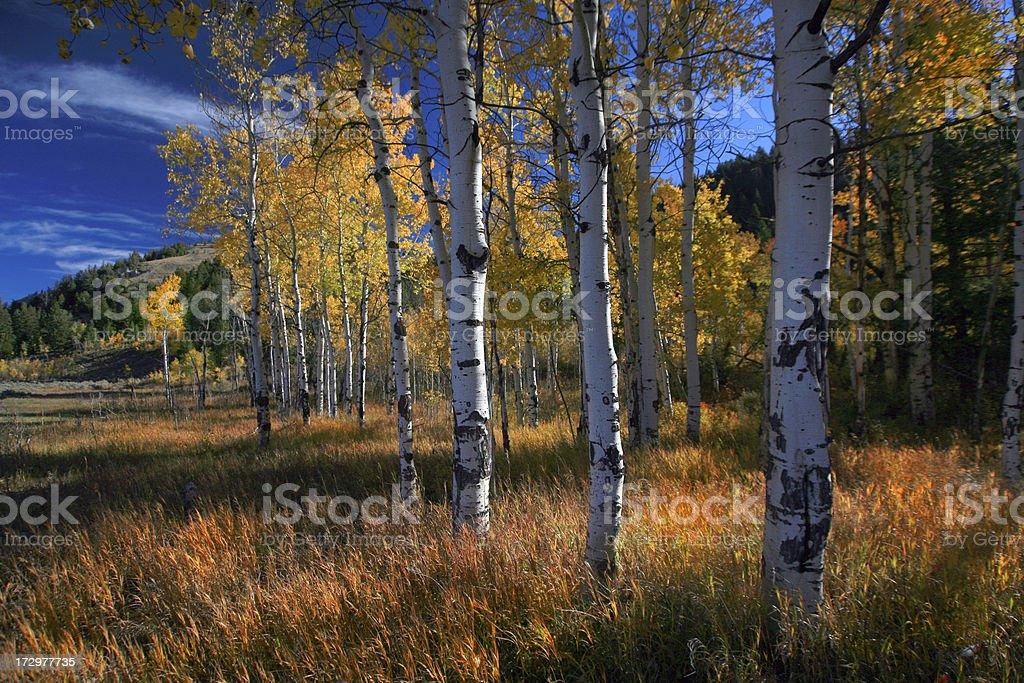 Aspen Grove in Wyoming, Autumn stock photo