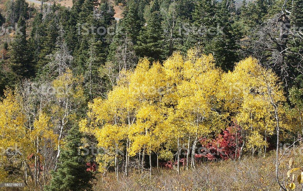 Aspen Grove stock photo