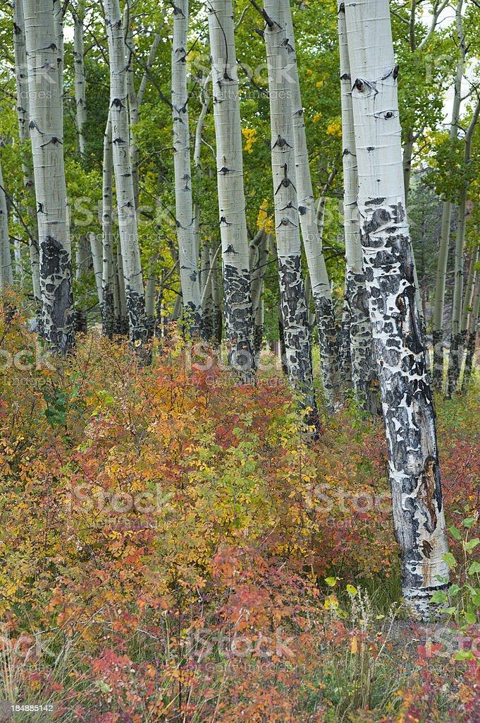 Aspen Grove Understory in Autumn stock photo