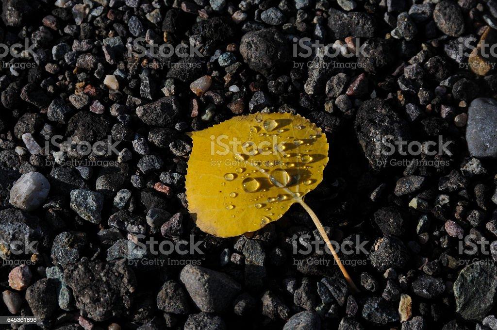Aspen Leaf and Raindrops stock photo