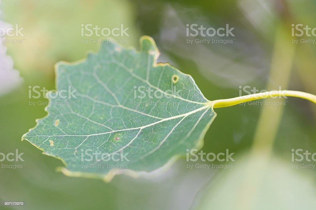 Aspen leaf (Populus tremula) stock photo