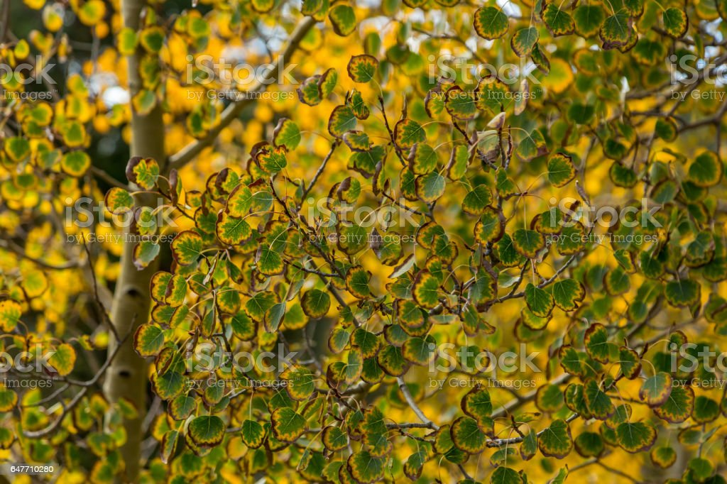 Aspen leaves changing stock photo