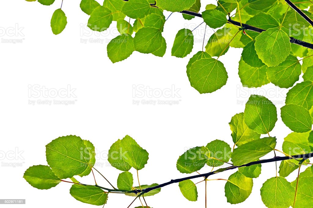 Aspen leaves on a white background stock photo