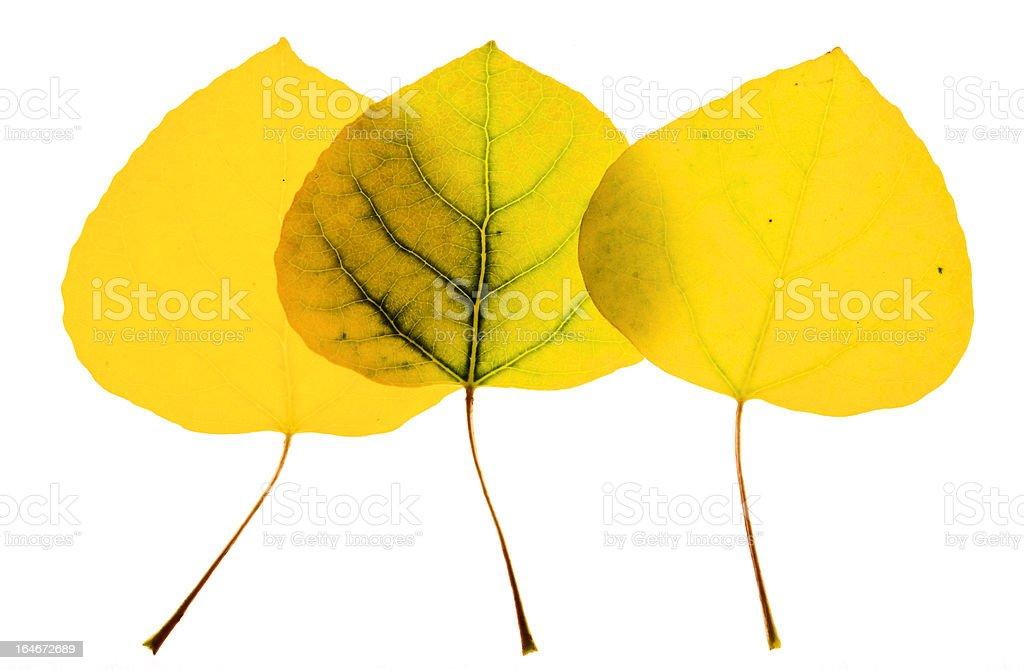 Aspen leaves on white royalty-free stock photo