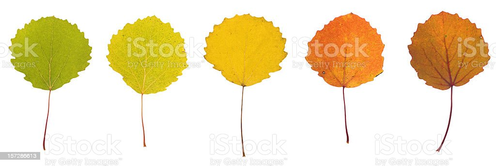 Aspen leaves royalty-free stock photo