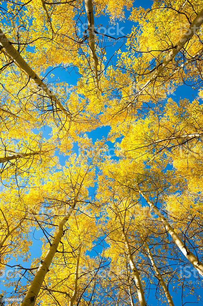 aspen look up royalty-free stock photo