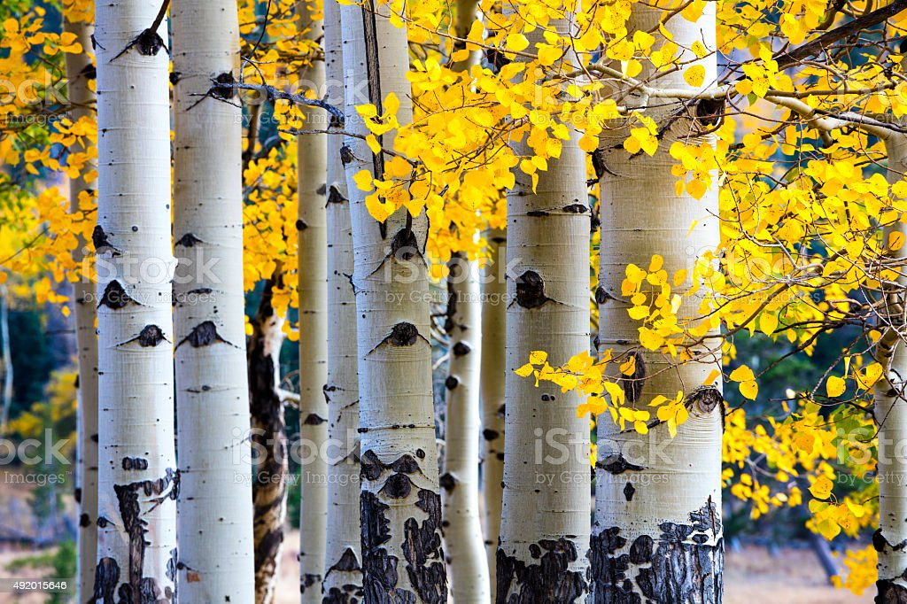 Aspen Tree Autumn stock photo