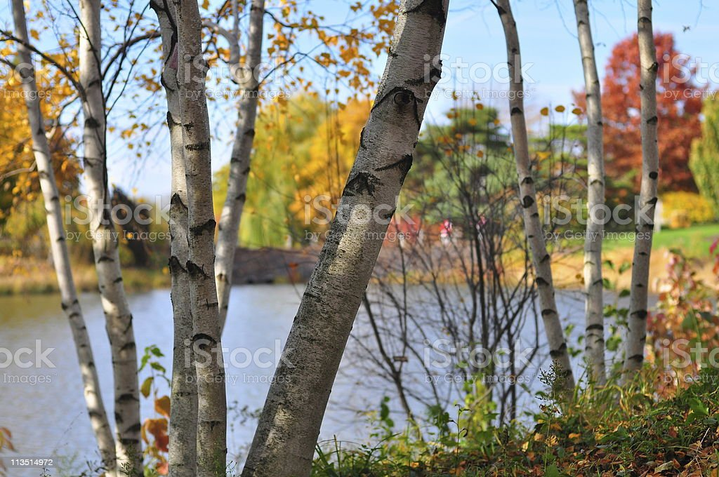 Aspen Tree by the River stock photo