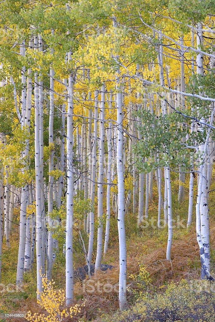 Aspen Tree Grove in Autumn royalty-free stock photo