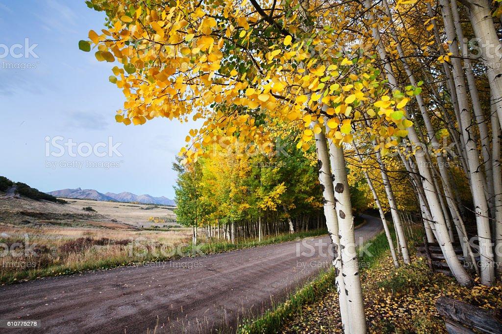 Aspen Tree Grove Panorama in Autumn stock photo
