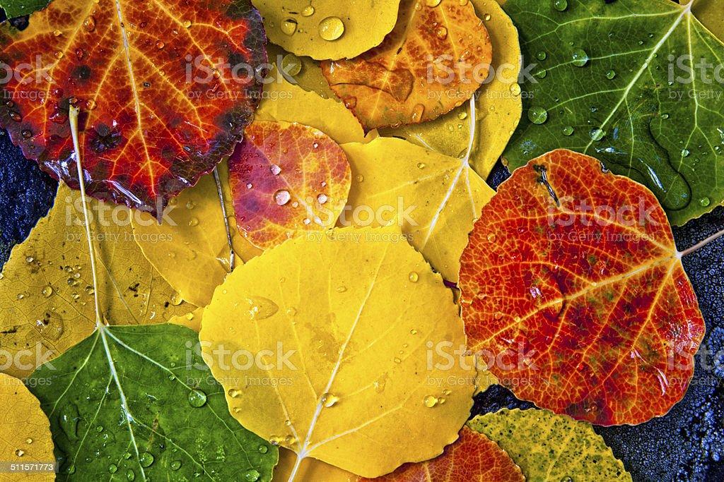 Aspen Tree Leaves stock photo