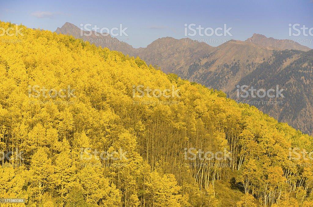 Aspen Tree Panoramic royalty-free stock photo