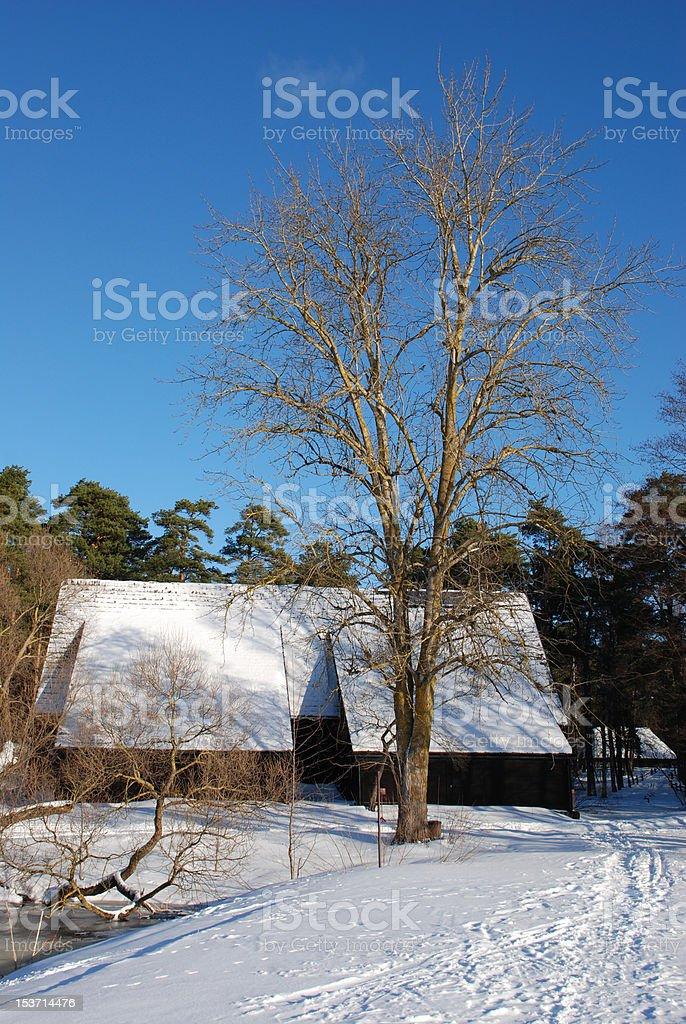 Aspen tree royalty-free stock photo