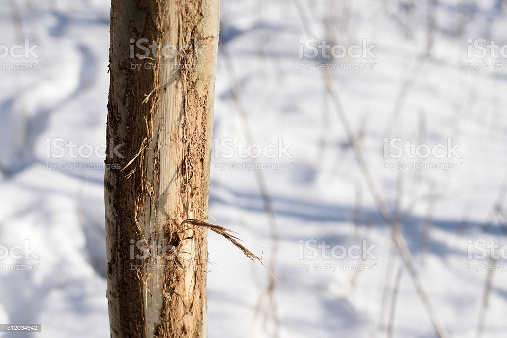 Aspen Tree Rubbed by Whitetail Deer stock photo