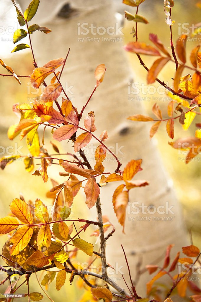 Aspen tree trunk and golden leaves royalty-free stock photo