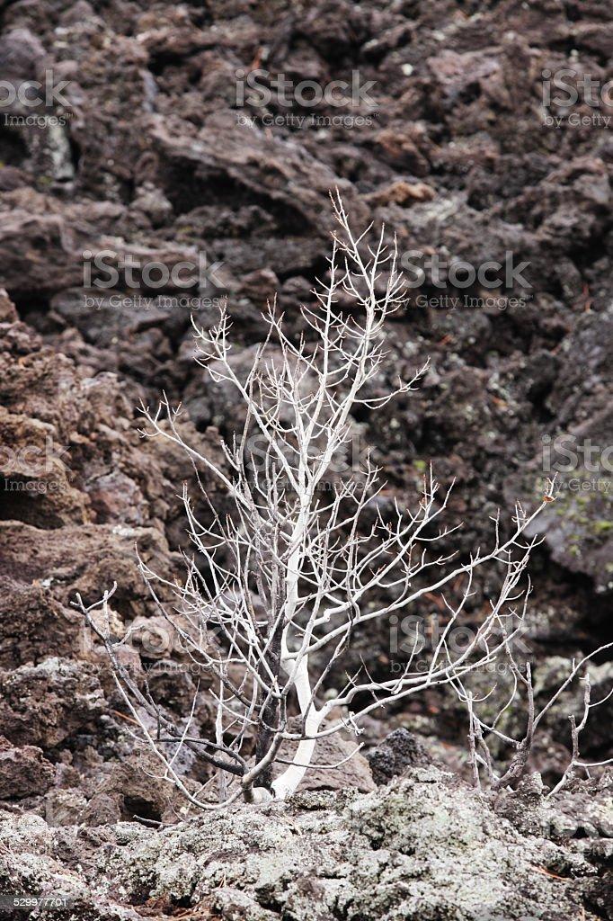 Aspen Tree Volcanic Landscape stock photo