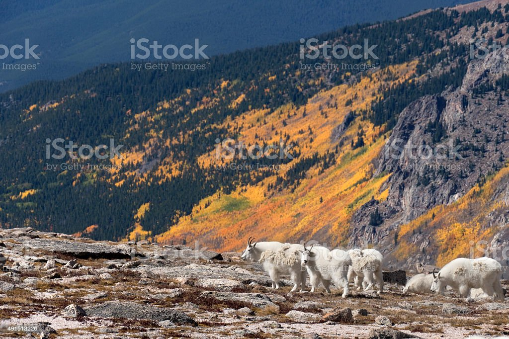 Aspen trees and mountain goats Mount Epaulet Evans Wilderness Colorado stock photo
