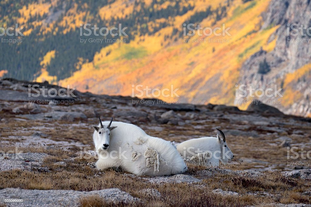 Aspen trees and mountain goats Mount Epaulet Evans Wilderness Colorado stock photo