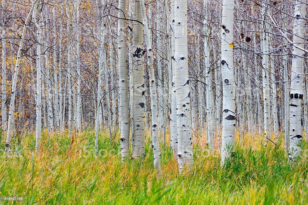 Aspen Trees Colorado Rockies. stock photo