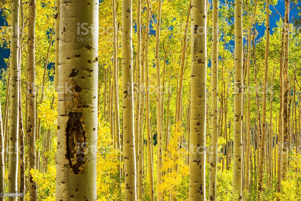 Aspen Trees Forest stock photo