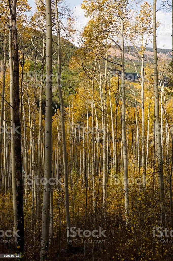 Aspen Trees Grove in Colorado stock photo