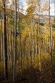 Aspen Trees Grove in Colorado