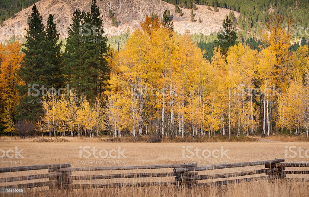 Aspen Trees in Autumn Color stock photo
