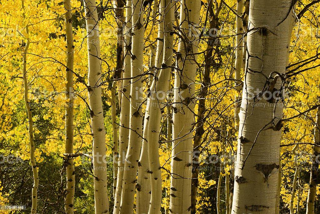 Aspen trees in autumn royalty-free stock photo