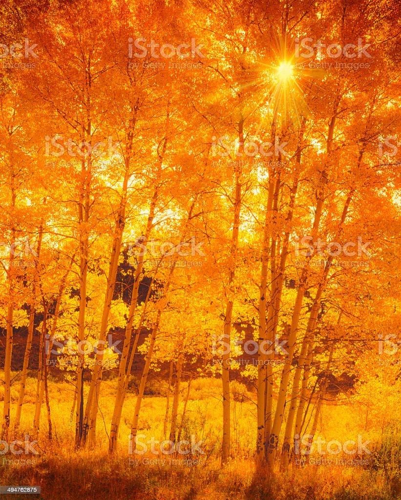 Aspen trees in Colorado royalty-free stock photo