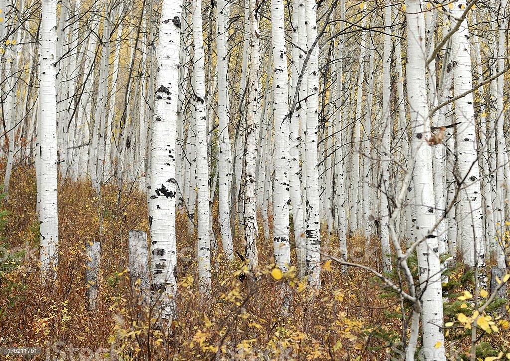 Aspen trees in Fall stock photo