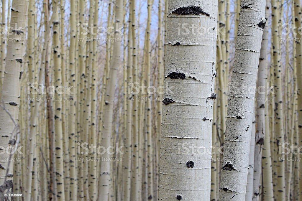 Aspen Trees Up Close stock photo